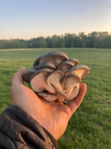 Staunton Gourmet Blue Oyster Mushrooms